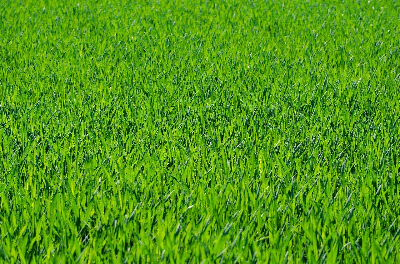grass, grassy, lawn